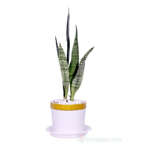 SNAKE PLANT DESK GOLDEN WHITE PLANTER